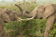 Två unga elefanter som spelar i Kenya arkivfoton