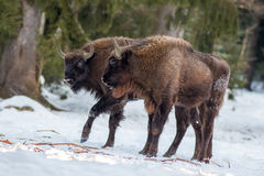 Två unga europeiska bisonar på snö royaltyfria foton