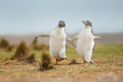 Två unga gentoopingvin som jagar sig Arkivfoto
