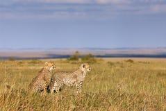 Två unga geparder Arkivfoton