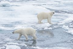 Två unga lösa isbjörnar som spelar på packeis fotografering för bildbyråer