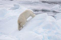 Två unga lösa isbjörnar som spelar på packeis arkivfoto