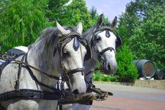 Två unga Lipizzaner hästar royaltyfria foton