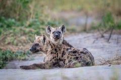 Två unga prickiga hyenor som ner lägger Royaltyfri Foto