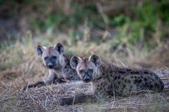 Två unga prickiga hyenor som ner lägger Royaltyfria Bilder