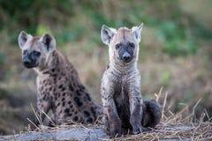 Två unga prickiga hyenor som ner sitter Arkivbilder