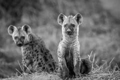 Två unga prickiga hyenor som ner sitter Arkivfoton