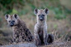 Två unga prickiga hyenor som ner sitter Royaltyfria Bilder