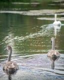 Två unga signet som följer den vuxna svanen royaltyfri foto