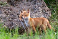 Två unga ställningar för röda rävar i gräset nära hans hål royaltyfria foton
