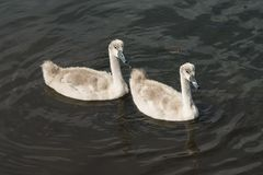 Två unga svanar på vattnet royaltyfria bilder