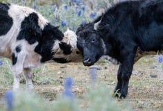 Två unga tjurar som låser horn och playfully slåss arkivbild