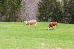 Två unga tjurar som står i grön betesmark, skogträd fotografering för bildbyråer