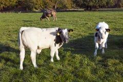 Två unga tjurcalfs i grön äng med kon i bakgrunden Royaltyfri Bild