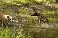 Två unga valpar spelar i ett damm arkivfoton
