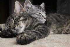 Två upplysta lilla kattpott för sibs som tillsammans sover på plyschen, grundar med mörk bakgrund Arkivbilder