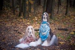 Två ursnygga afghanska hundar i härliga sjalar arkivbild
