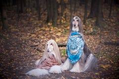 Två ursnygga afghanska hundar i härliga sjalar royaltyfri bild