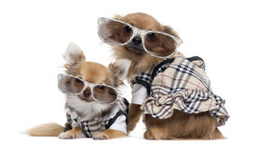 Två utklädda Chihuahuas bredvid de bärande exponeringsglas Royaltyfri Foto