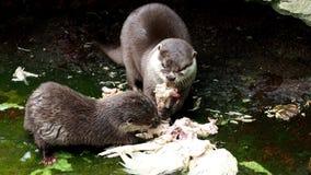 Två uttrar som äter deras rov lager videofilmer