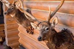 Två välfyllda hjorthuvud på väggen Royaltyfri Bild