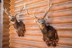 Två välfyllda hjorthuvud på väggen Fotografering för Bildbyråer