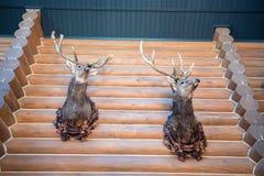Två välfyllda hjorthuvud på väggen Royaltyfri Fotografi