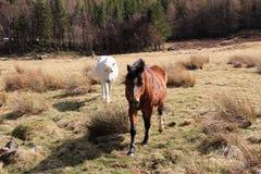 Två vänliga hästar Arkivfoto