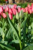 Två vävde knoppar av tulpan på en röd bakgrund älskar, kopplar ihop, famien Fotografering för Bildbyråer