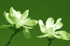 Två vårmagnoliablommor i blomningen som isoleras på grön bakgrund Arkivfoton