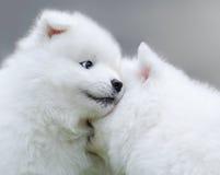 Två valpar av Samoyedhund Royaltyfria Bilder
