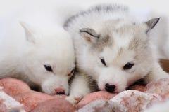 Två valpar av Siberian Huskies royaltyfria foton