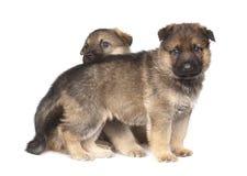 Två valpar för sheepdog` som s isoleras över vitbakgrund royaltyfri bild