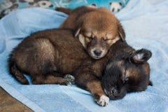 Två valpar som tillsammans lyckligt sover Fotografering för Bildbyråer