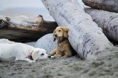 Två valpar vilar, når de har spelat på stranden Royaltyfri Foto