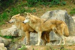 Två varger Royaltyfri Bild