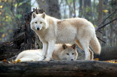 Två varger i skogen Arkivfoto