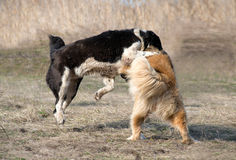 Två varghundar slåss på hundkamper Royaltyfri Fotografi