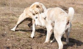 Två varghundar slåss på hundkamper Arkivfoton