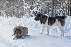 Två varghundhundkapplöpning som spelar i snön royaltyfri bild