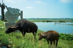 Två vattenbufflar som står vid dammet Arkivbilder