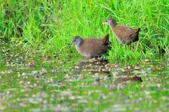 Två vattenfåglar Arkivbilder