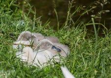 Två vecka behandla som ett barn den gamla stumma svanen nära ett damm i området av Buechenbach av staden av Erlangen Arkivbilder