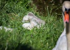 Två vecka behandla som ett barn den gamla stumma svanen nära ett damm i området av Buechenbach av staden av Erlangen Royaltyfri Fotografi