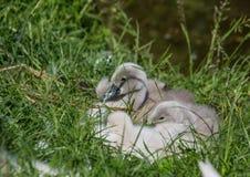 Två vecka behandla som ett barn den gamla stumma svanen nära ett damm i området av Buechenbach av staden av Erlangen Arkivbild