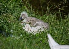 Två vecka behandla som ett barn den gamla stumma svanen nära ett damm i området av Buechenbach av staden av Erlangen Arkivfoto