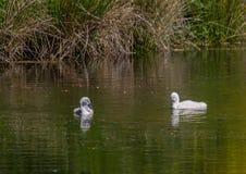 Två vecka behandla som ett barn den gamla stumma svanen simning på ett damm i området av Buechenbach av staden av Erlangen Arkivfoton