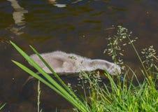 Två vecka behandla som ett barn den gamla stumma svanen simning på ett damm i området av Buechenbach av staden av Erlangen Arkivbild