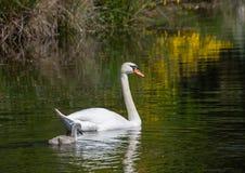 Två vecka behandla som ett barn den gamla stumma svanen simning samman med deras föräldrar på ett damm Royaltyfri Bild