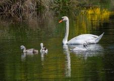 Två vecka behandla som ett barn den gamla stumma svanen simning samman med deras föräldrar på ett damm Arkivbilder